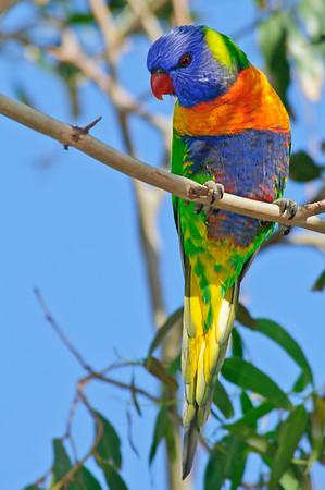 May 11th - A wonderfully bright Rainbow Lorikeet in Port melbourne, Australia.