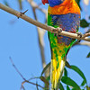 May 11th - A wonderfully bright Rainbow Lorikeet in Port melbourne, Australia.