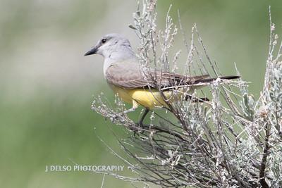 Western Kingbird-6922