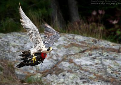 Peregrine Falcon Falco peregrinus Killarney Provincial Park, Ontario.