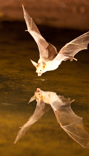 Pallid Bat getting a drink from a pond.  They just skim the surface of the water with their mouth open.