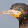 Cape Cormorant, Kapkormoran, Portrait, Phalacrocorax capensis, Walvis Bay, Namibia