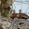 Black-bellied Whistling Ducks (Dendrocygna autumnalis)