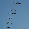 White Pelicans flying in formation