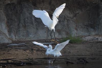 Snowy Egrets Spring 2018-5