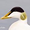 Male Common Eider duck (somateria mollissima), Longyearbyen, Spitsbergen