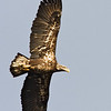 Immature Eagle Flight
