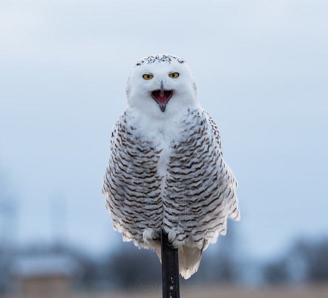 Angry Snowy Owl