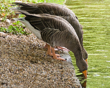 Greylag Geese, St James's Park, London