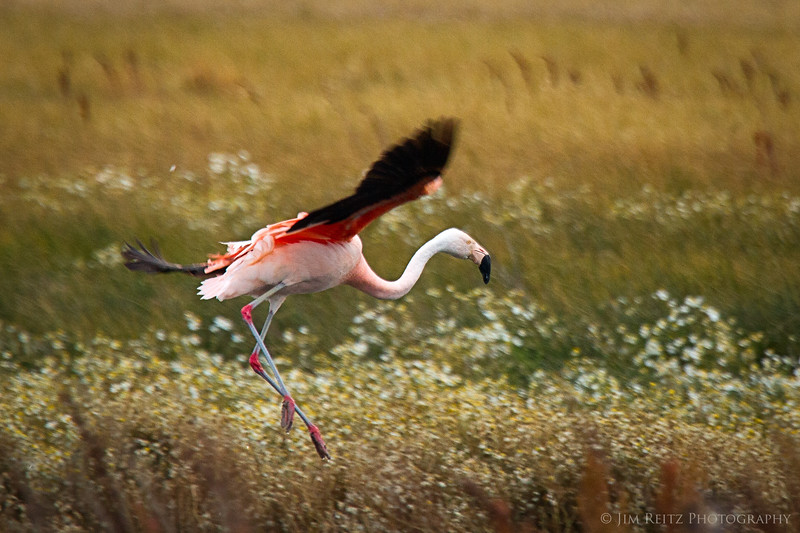 Austral Flamingoes live in the cool climate of Patagonia. Shot just outide El Calafate, Argentina.