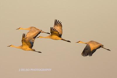 Sandhill Cranes Fall 2017-1