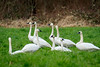 Trumpeter Swans near Fall City, Washington