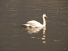 Swan at Renfrew.<br /> 30th March 2008