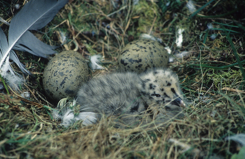 A herring gull chick, one born and two to go.