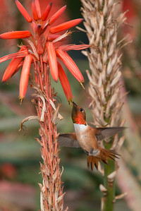 HUmming_bird_Laguna_CA-186