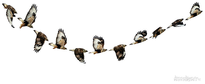 The Swoop...A compilation of a Rough-Legged Hawk's flight.
