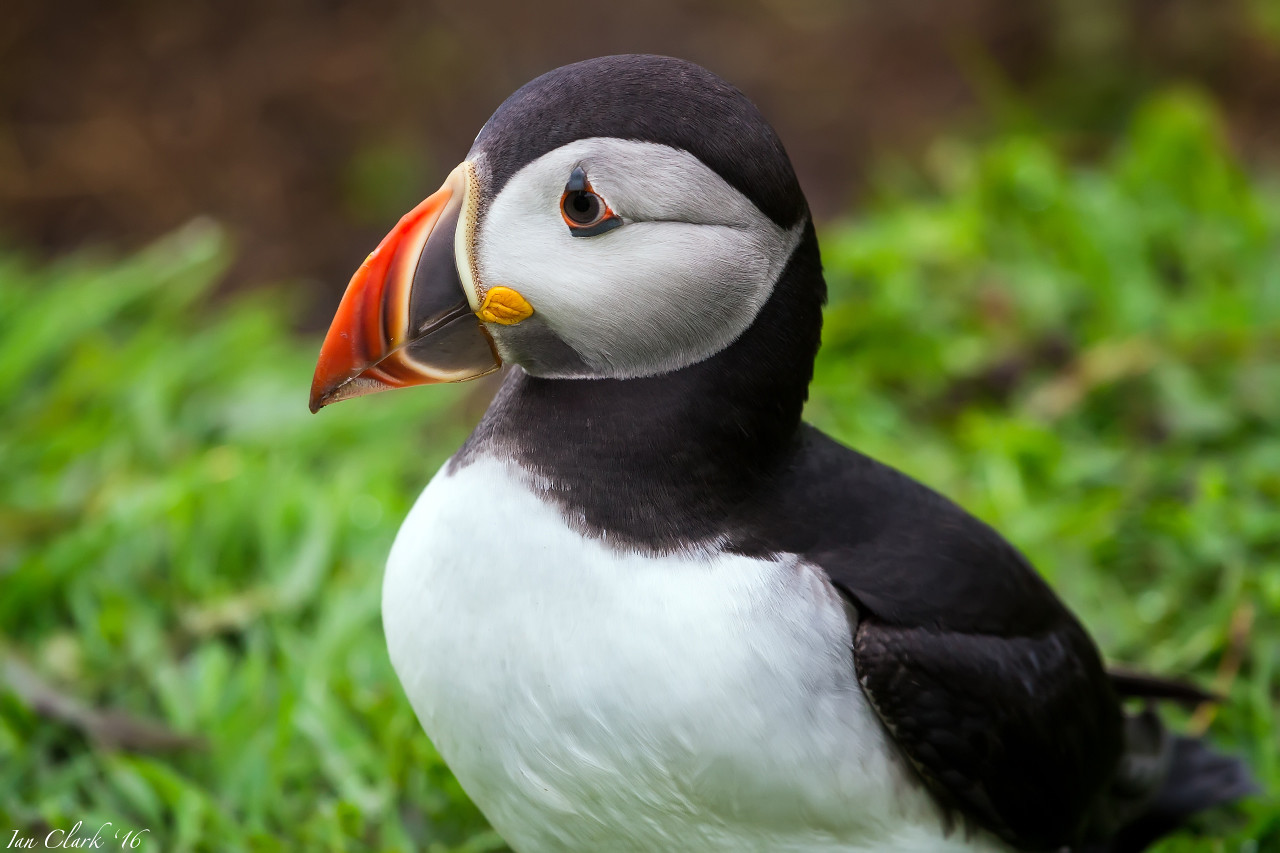 Puffins from Lunga - 2016