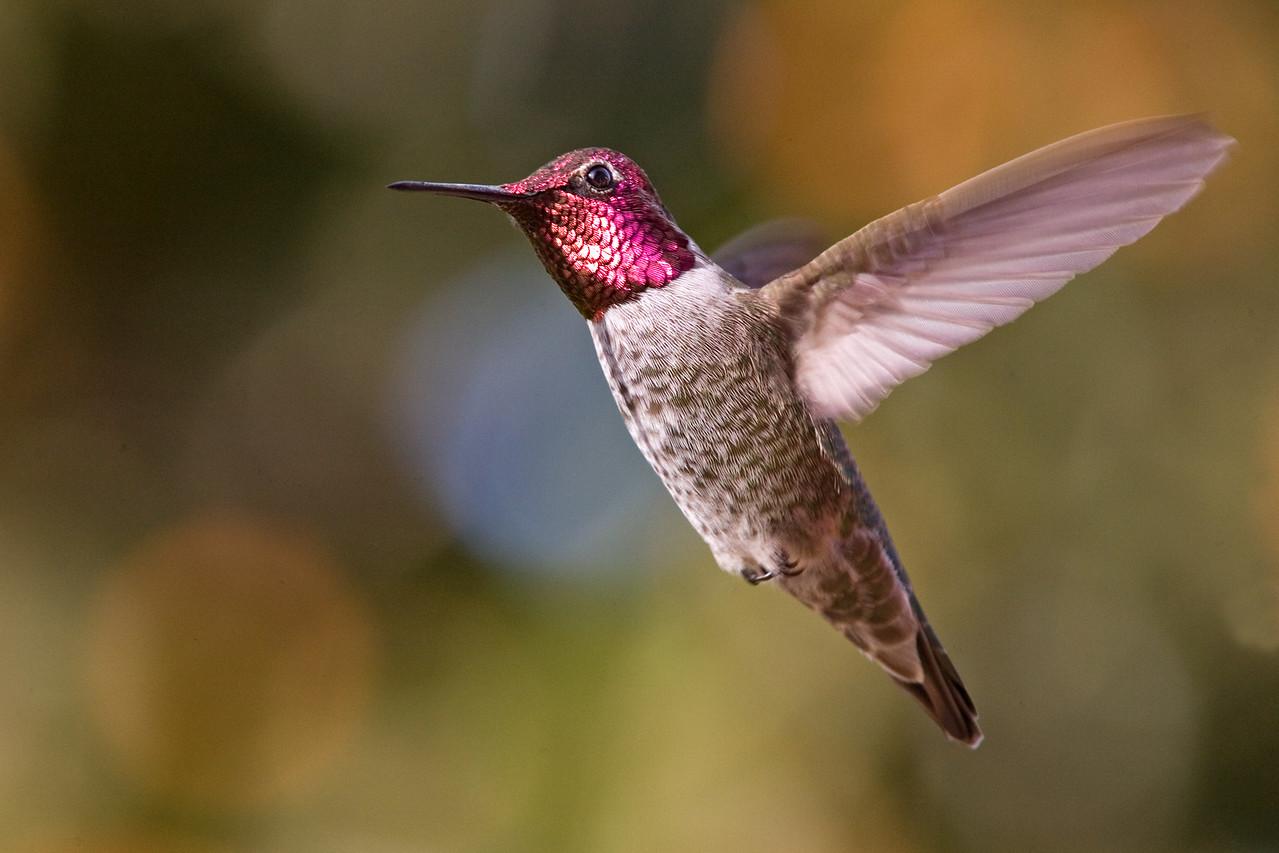 Anna's Hummingbird to the Left