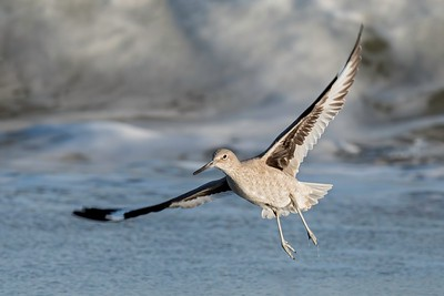 Willet @ Assateague Park
