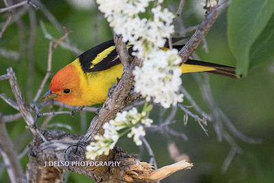 Western Tanager-6736