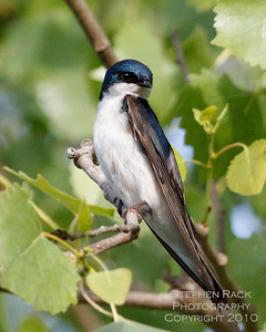 Tree Swallow, San Joaquin Wildlife Reserve, CA