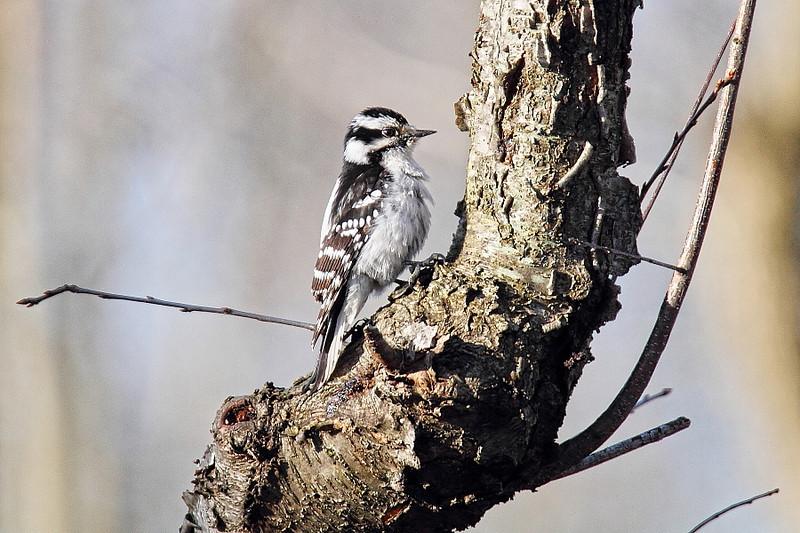Image #8212<br /> Female Downy Woodpecker<br /> Western N. Y.