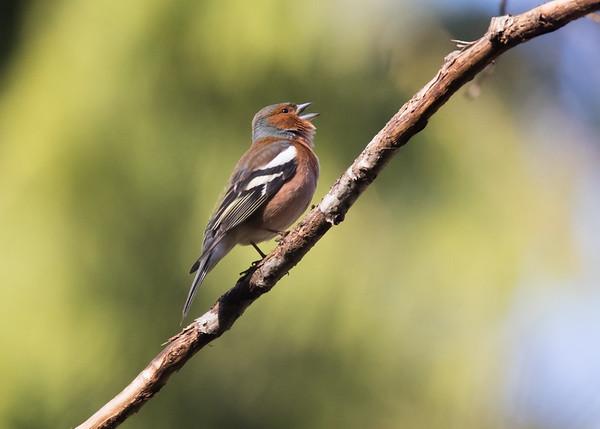 Finch, peippo