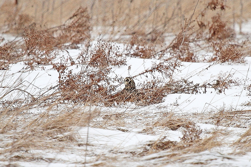 Image #7904<br /> Short-Eared Owl ~ Niagara County<br /> New York State Listed - Endangered Species