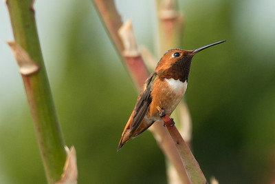 HUmming_bird_Laguna_CA-379