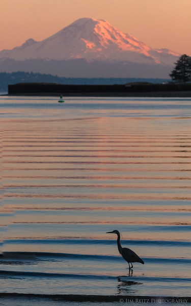 Heron at sunset - Eagle Harbor on Bainbridge Island