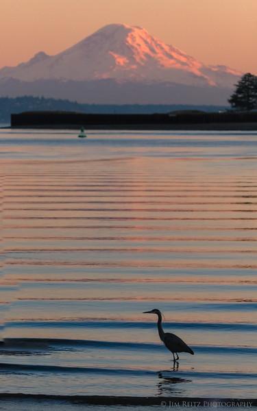 Heron at sunset - Eagle Harbor on Bainbridge Island