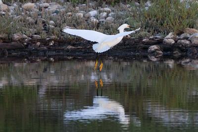 Snowy Egret-2946