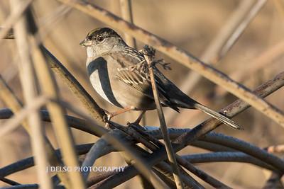 Golden-crowned Sparrow-8697
