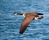 Canada Goose, London Wetland Centre