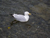Greenock seagull.<br /> 15th June 2011