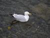 Greenock seagull.<br /> 15th June 2011