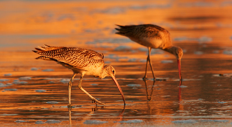 Curlews Digging, Torrey Pines Beach<br /> (California, 2005)