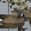 Blue-winged Teals (Anas discors)
