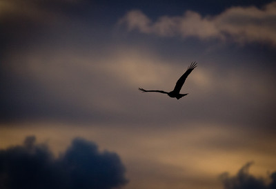 Red Kite at Dusk