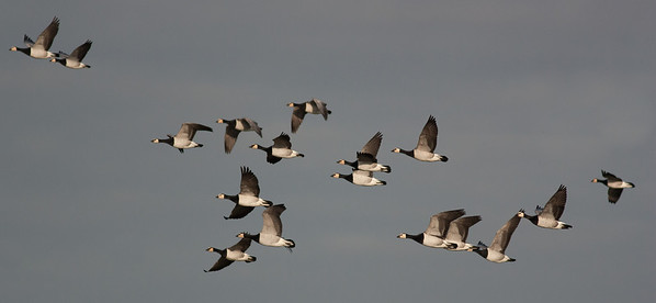 Barnacles in Flight