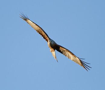 Red Kite Soaring 1