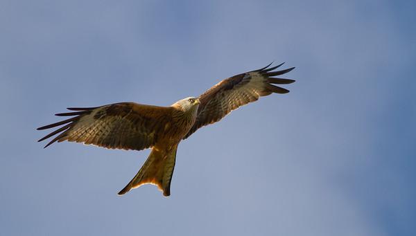 Red Kite Soaring 2