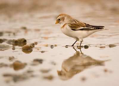Snowbunting Reflection