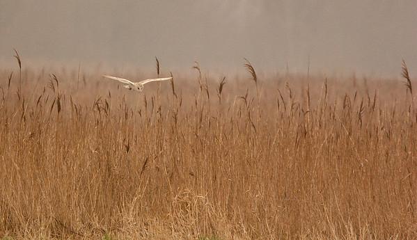 Barn Owl Quartering