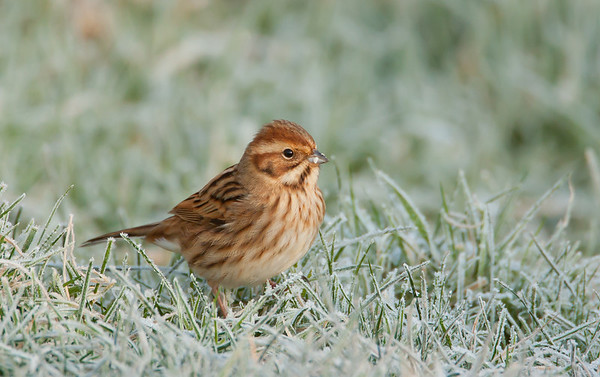 Female Reed Bunting