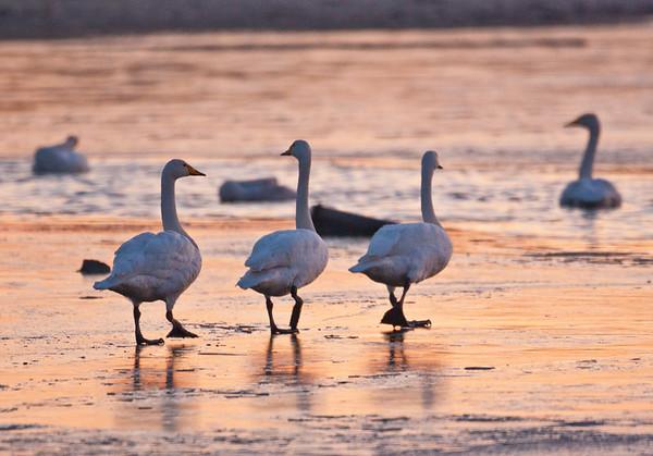 Skating Swans
