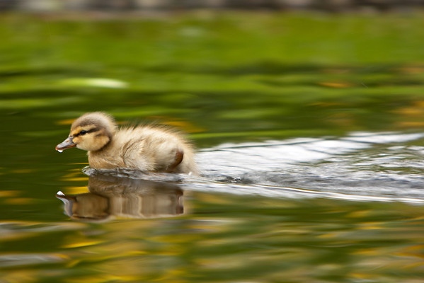 Turbo Duckling