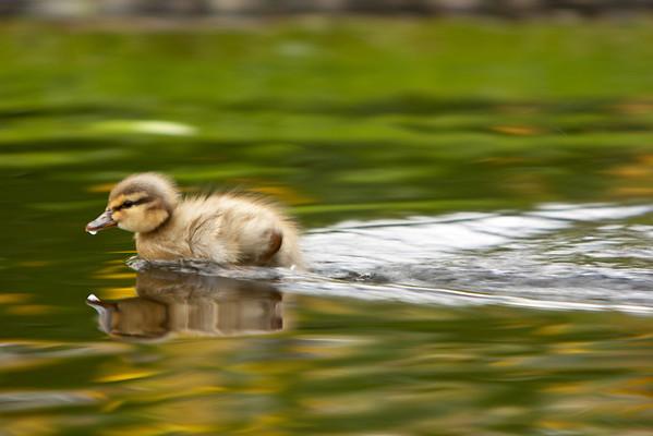 Turbo Duckling