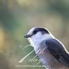 Grey Jay image