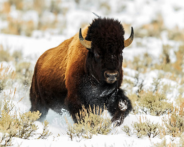 Bison running through the snow in Lamar Valley.